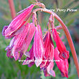 Dicentra 'Percy Picton'