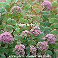 Sedum sieboldiii (fleurs)