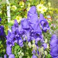 Aconitum_jardin_du_morvan