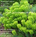 Euphorbia_wulfenii_G