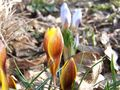 Crocus_anita_blog