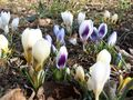Crocus_2_anita_blog