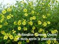 Helianthus_lemon_queen_blog