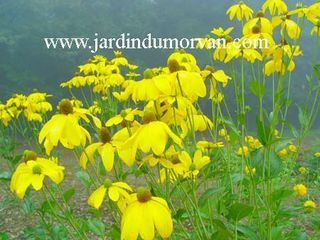 Rudbeckia_autumn_glory_2-z-c273-c226