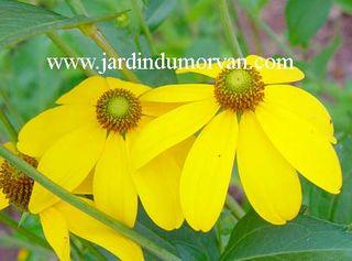Rudbeckia_autumn_glory_1-z-c460-c107