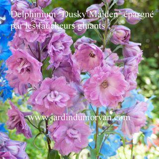 Delphinium_dusky_maiden_jardin_du_morvan