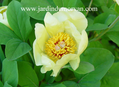 Paeonia_BLOG