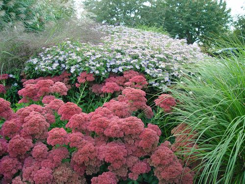 Sedum_Autumn_fire_thierry_denis
