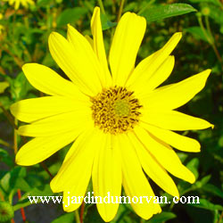 Helianthus_monarch_2