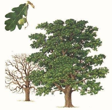 Quercus_robur_2