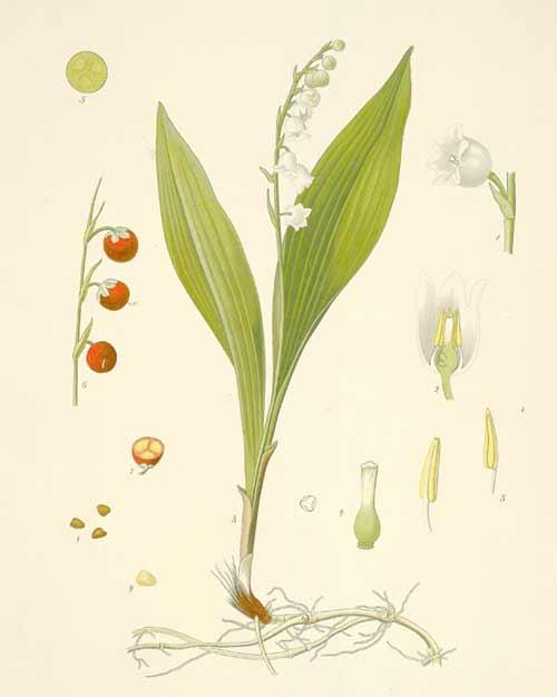 planche botanique muguet